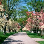 Beautiful houses and gardens - mylusciouslife.com - Pink_and_White_Dogwood_Trees_Lexington_Kentuck