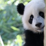 Luscious animals - mylusciouslife.com - panda