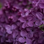 Purple passion - luscious purple flowers