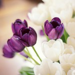 Purple passion - purple and white tulips