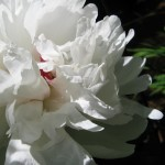 fluffy-white-flower pictures