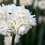 Picture of white jonquils
