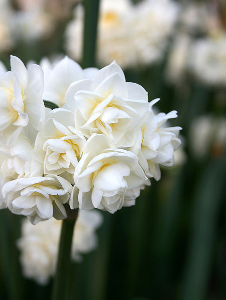 Floral fancy white and fluffy flowers picture of white jonquils mightylinksfo