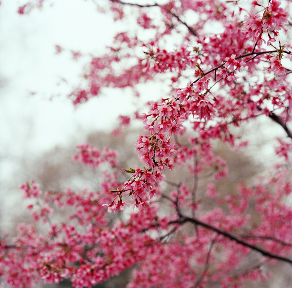 INSPIRED BY ASIA: Japanese cherry blossom photo