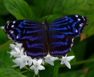 blue and white lusciousness butterfly.jpg