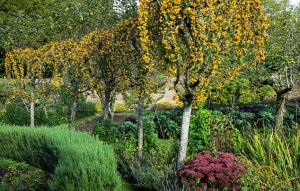 The linked branches of crab apple trees form a golden crown in the kitchen garden in autumn.jpg