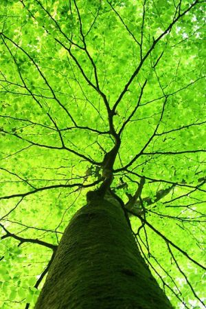 Tall green tree photo - looking up into the tree with luscious leaves.jpg