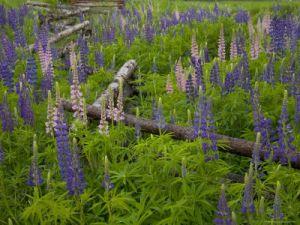 lupines-grow-around-a-fence-on-prince-edward-island-canada.jpg