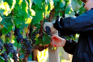 Things to do in Tasmania - visit local wineries near Hobart.JPG