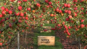 tasmania - the apple isle - fresh apples - activities in tasmania.jpg