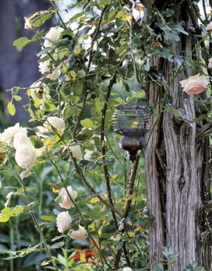 Countryliving.com - Eden Climber and New Dawn roses with wire lantern.jpg
