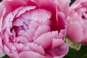 Floral creations - peonies - Floral design in fashion and decor - ideas.jpg