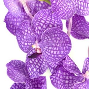 Floral decor fashion - Purple-Bicolor-Vanda-Orchid-Flower-Rothschildiana.jpg