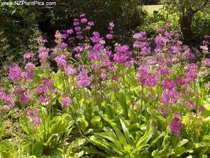 Floral fabric designs in fashion and home decor - primula beesiana groundcover.jpg