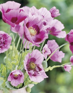 Floral images - Countryliving.com - Nova Scotia Country House - Pink Poppies.jpg