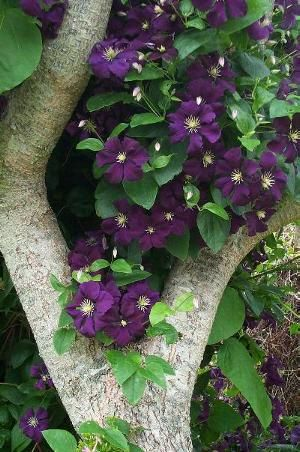 Floral interiors and fashion photos - clematis etoile violette.JPG