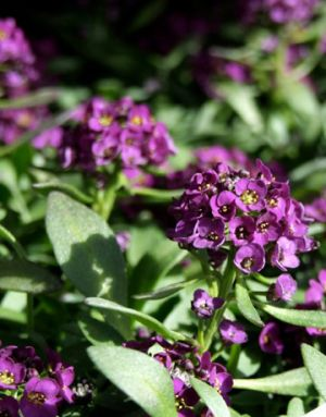 Floral patterns - Countryliving.com - purple heliotropes.jpg