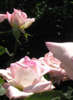 Floral patterns - Use floral to bring in colour - pink filoli rose.jpg