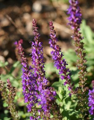 Floral photography - Countryliving.com - Russian sage.jpg
