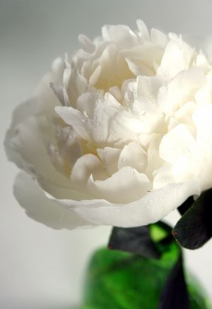 Floral pictures - Photos of floral fashion and decor - Peony - white.jpg