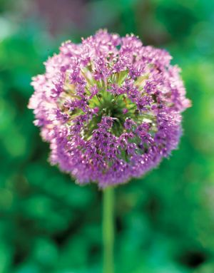 Flowers flowers - Countryliving.com - purple Allium Blossom.jpg