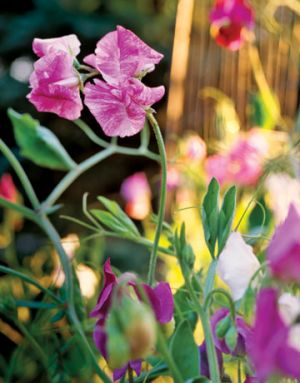 Images of floral designs - Countryliving.com - Connoisseurs Dream Sweet Peas.jpg