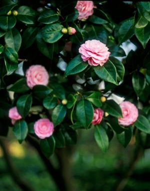 Images of floral designs - Countryliving.com - pink Camellia japonica.jpg