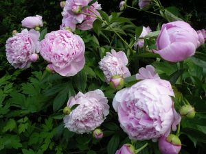 Images of floral fashion and decor - Pink peony bush.jpg