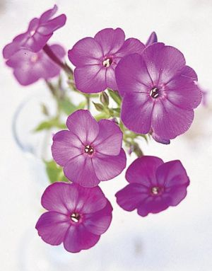Images of flowers - Countryliving.com - A Hearty Phlox Harlequin Plant.jpg