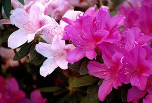 Inspired by flowers and plants in decor and fashion - azaleas.jpg
