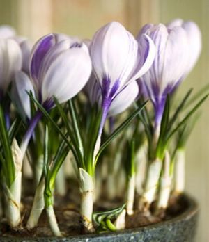 Photos of floral design - Floral designers - Crocus King of the Striped.jpg