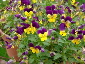 Photos of floral design - Floral patterns - Purple and yellow violas.jpg