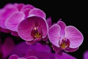 Photos of floral fashion and decor - purple pink dendrobium orchid flowers.jpg