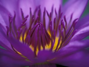 merrill-john-lisa-purple-and-yellow-lotus-flower-bangkok-thailand.jpg