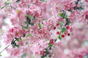 Beautiful pink and red blossom.JPG