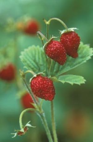 Raspberries - Living lusciously.jpg