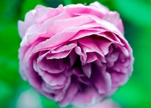 mylusciouslife.com - Gorgeous dark pink rose.jpg