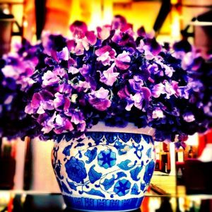 Purple passion - luscious purple flowers in blue and white pot.jpg