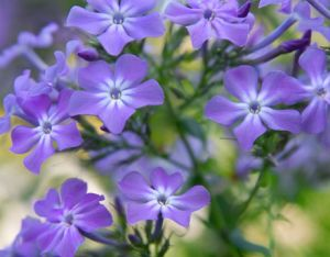 True blue colour photo gallery - Countryliving.com - Wild blue phlox.jpg