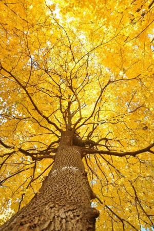 Cheery yellow - Yellow tree from below.jpg