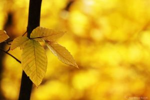 yellow leaves in autumn.jpg