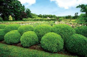 The boxwood hedge surrounding the herbaceous peony garden - Martha Stewart.jpg