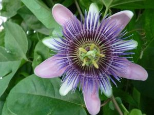 Photo by Oscar de la Renta of his gardens - Connecticut - passion flower.jpg