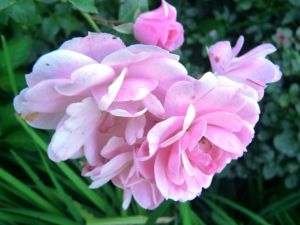 Photo by Oscar de la Renta of his gardens - Connecticut - pink flower.jpg