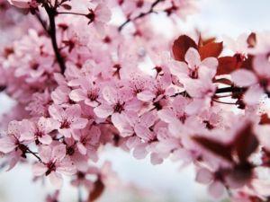 kai-schwabe-japanese-cherry-blossom.jpg