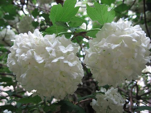 Floral fancy white and fluffy flowers white pom pom tree flowersg mightylinksfo