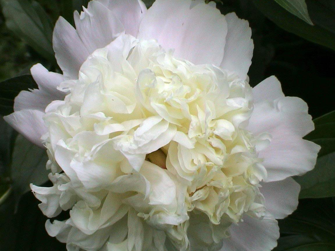 Floral fancy white and fluffy flowers white peony11g mightylinksfo