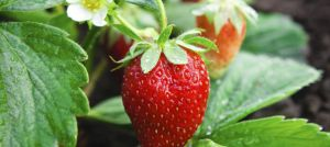 Motivation for a healthier life - Luscious strawberry plant.jpg