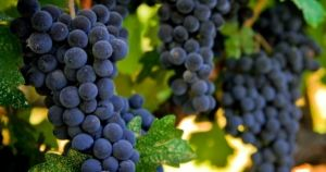 Wine grapes in the Barossa Valley via myLusciousLife.jpg