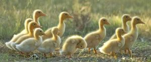 Ducks walking in a row - Live lusciously with LUSCIOUS.jpg